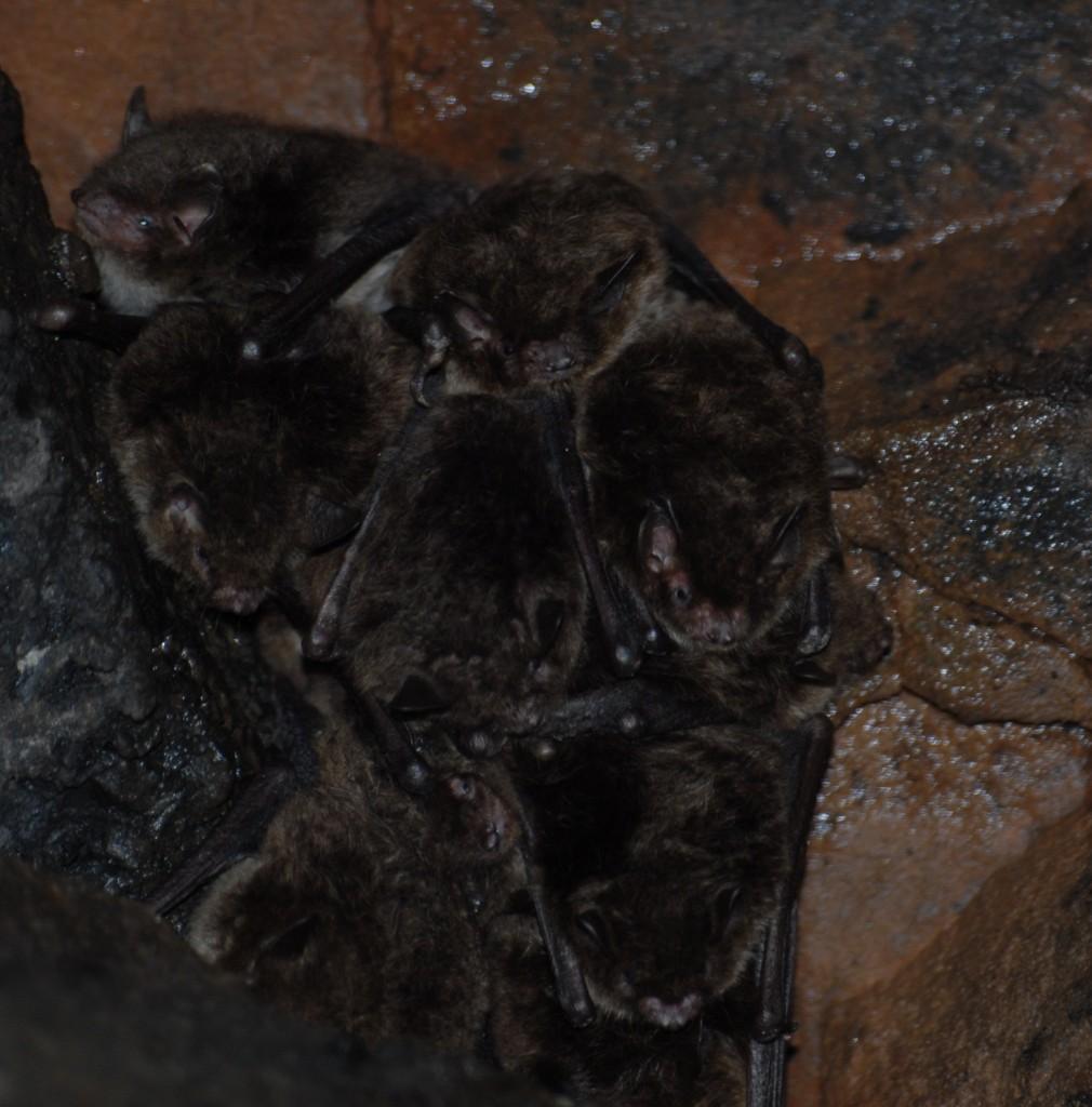 Daubenton's bats